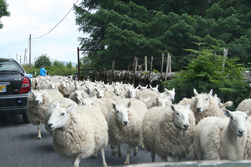 CLARINsheep_on_the_road