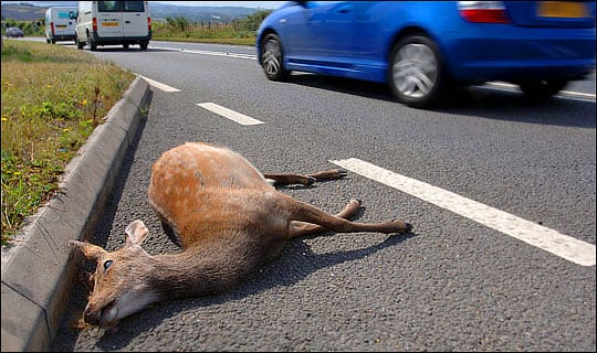 deer-roadkill