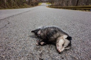 possum-tumblr_mymi4n5A5I1to3hzso1_1280