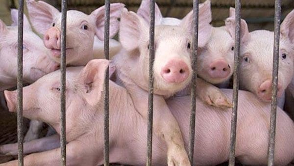 animas-pigs-in-factory-farm
