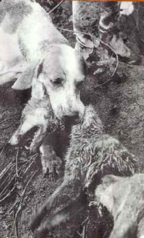Hounds ganging up on their badly outnumbered victim. Trained to do so by human scum.