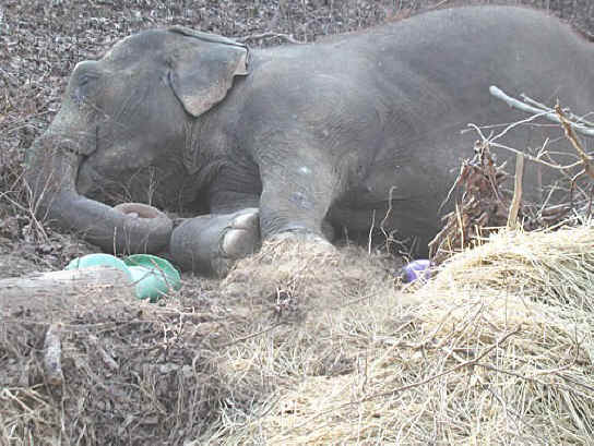 Delhi, an elephant rescued from a circus, is finally able to lie down, with a toy.