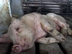 Unable to move or stand after suffering for her whole life in a factory farm, this pig was left to die.