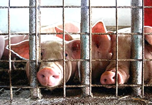Today, nearly 65 billion animals worldwide, including cows, chickens and pigs, are crammed into CAFOs