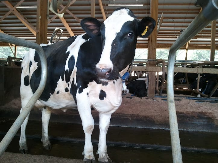 Cow-dairy