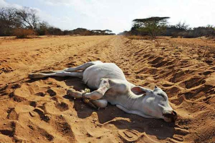 Kenyan calf starved to death as a result of the drought.
