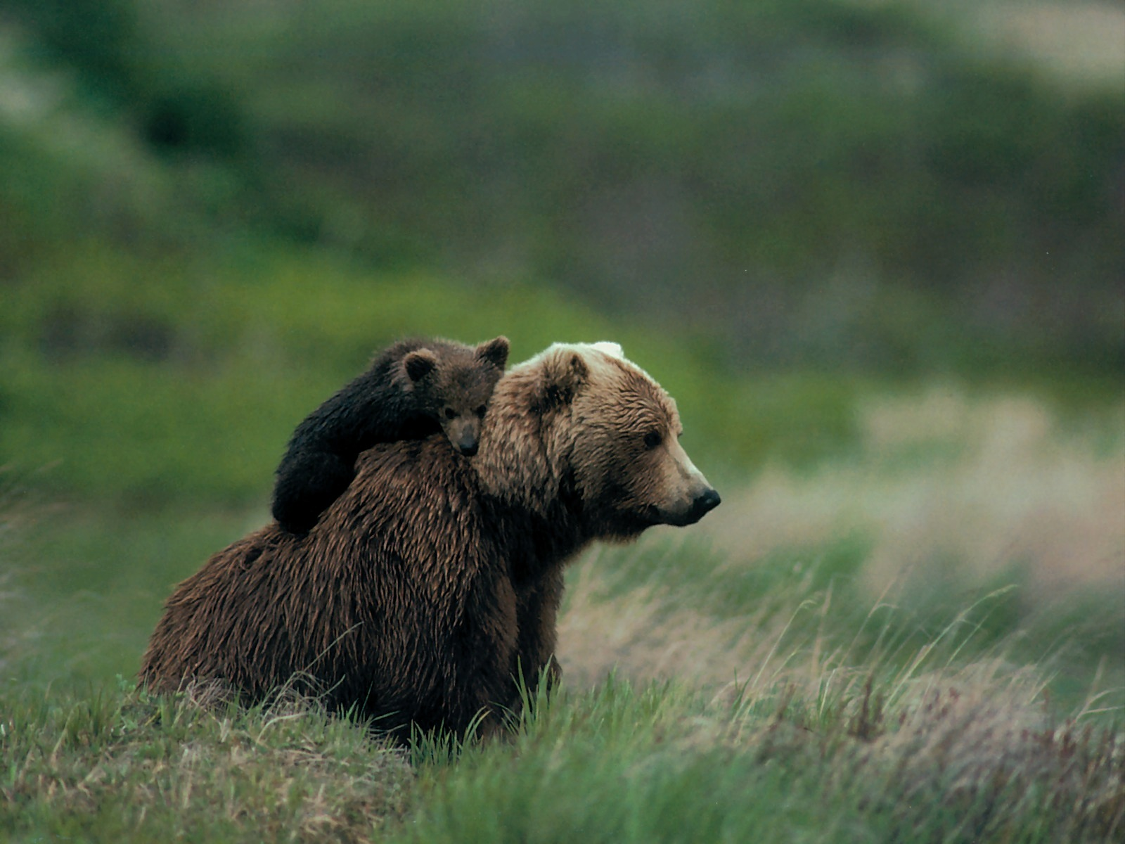Medieval Human Justice: Mama Grizzly Bear Euthanized After ...