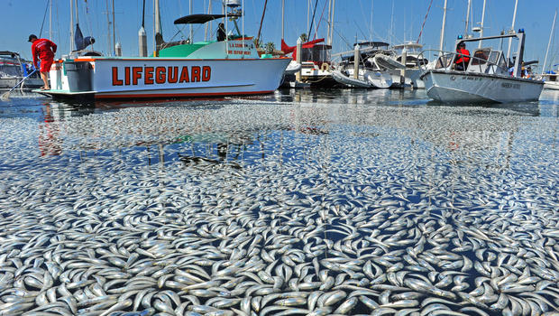 Massive fish die-offs, while the truth is denied.