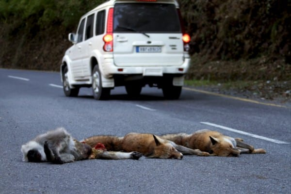 Red_fox_multiple_roadkill_Nainital_001