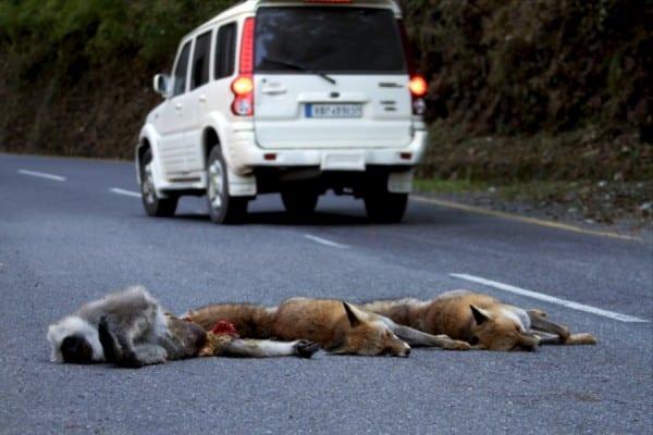 Red_fox_multiple_roadkill_Nainital_001