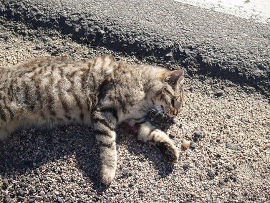 cat-striped