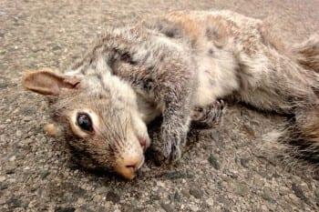 squirrel_Roadkill1