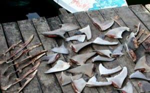 shark-fins