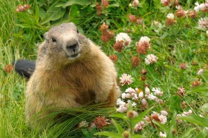 """Groundhogs have been the target of vicious eradication campaigns by WS, ranchers, and hunters, who use these animals for """"target practice"""". Yet, in public lands, they belong to all of us."""