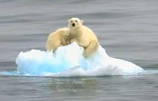 Polar bears are the poster creatures for what humans do to the environment.