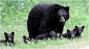 blackBears