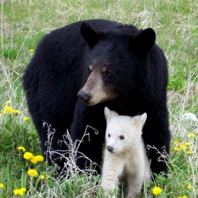 white-black-bears-8