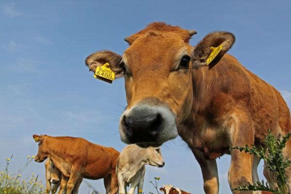 Cows in the open. (Via Dirk Jan Kraan, flickr)