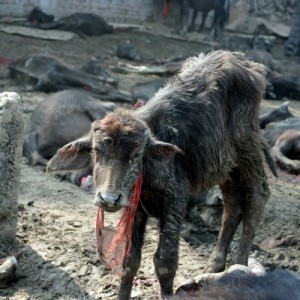 A lone calf, still standing amidst the carnage of Gadhimai