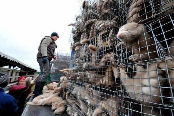 Approximately 35 minks must be killed to make one fur coat.