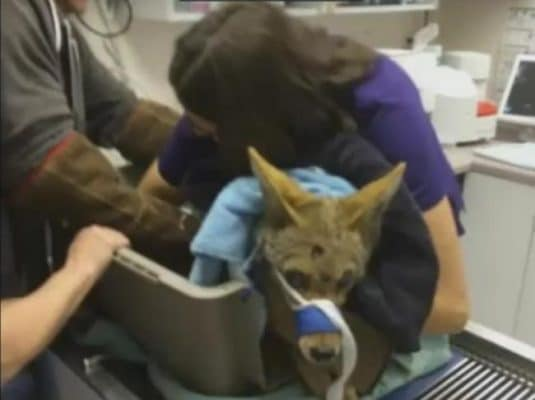 coyote2rescuers-with-blind-coyote-mama