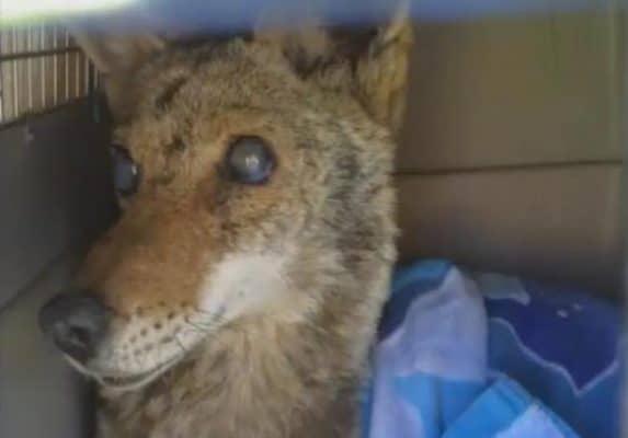 coyote3blind-coyote-mama