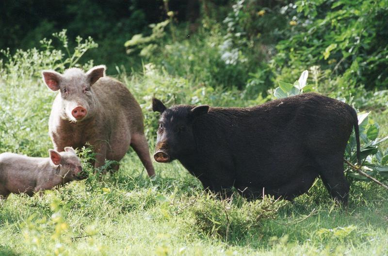 PIGS-ROAMING-Bartlett-APF