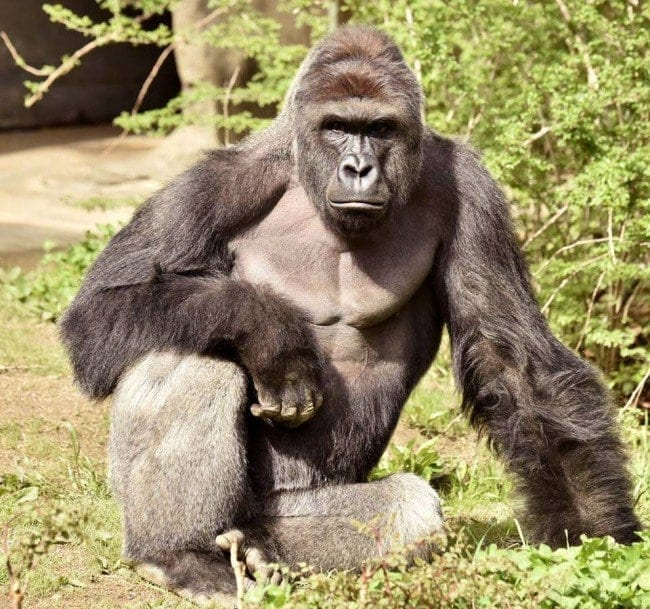 Harambe: A victim of a long concatenation of human errors and crimes.