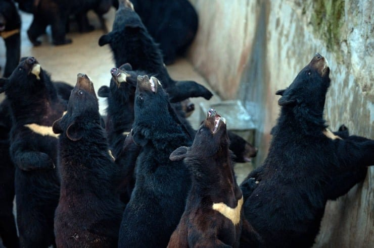 bear-bile-farm-3