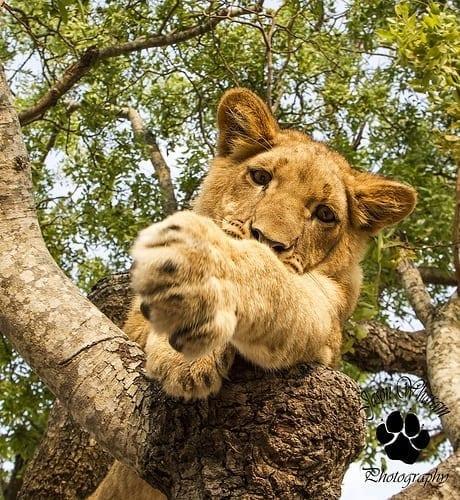 lioncub-treed